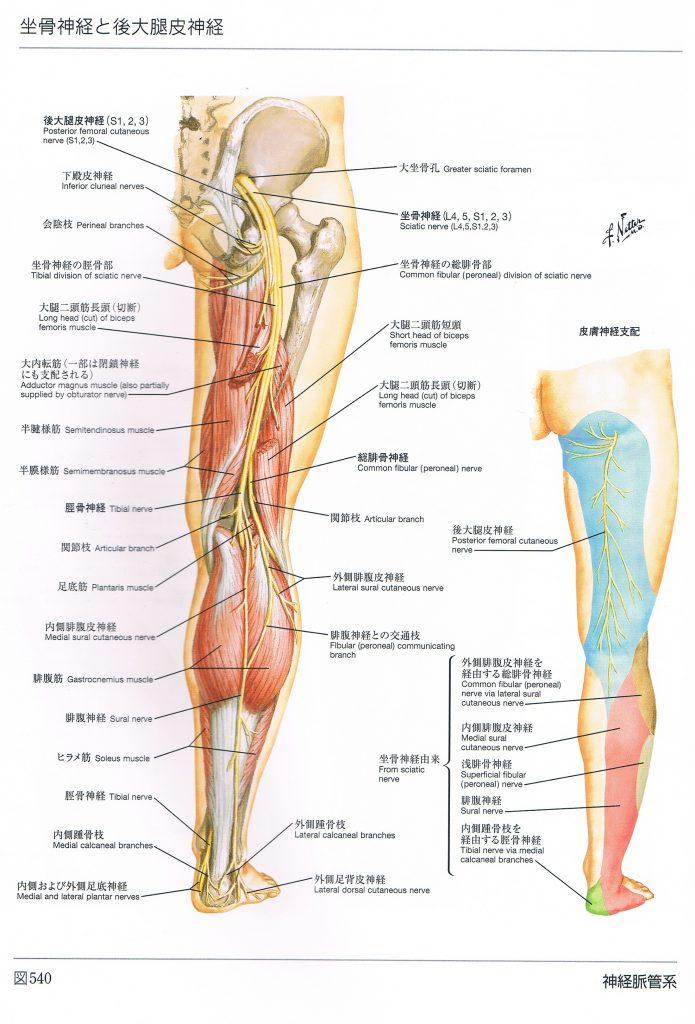 坐骨神経の画像